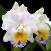 "Rlc. California Girl 'Orchid Library' (Starter-3"" Pot)"
