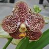 V. Madame Rattana 'Sampran Brown' (Open Blooms)