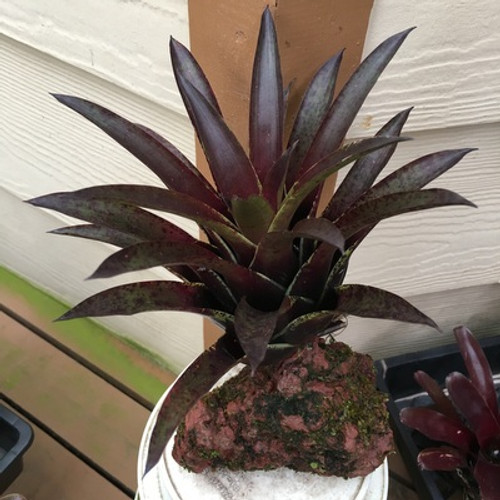 Single Dk. Purple Bromeliad on Rock (Vr. Corcovadensis)