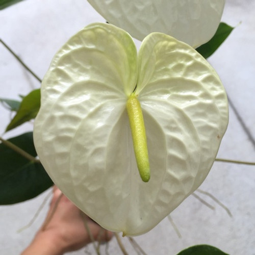Mauna Kea Anthurium Plant