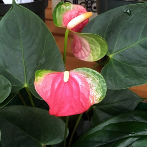 Pink Butterfly Anthurium Plant