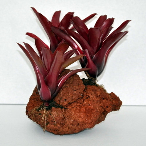 3-Red Bromeliads on Rock
