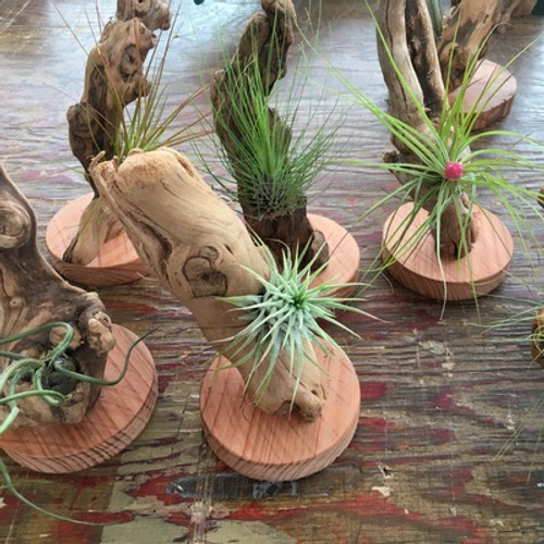 Tillandsia Air Plant Mounted on Grape Wood