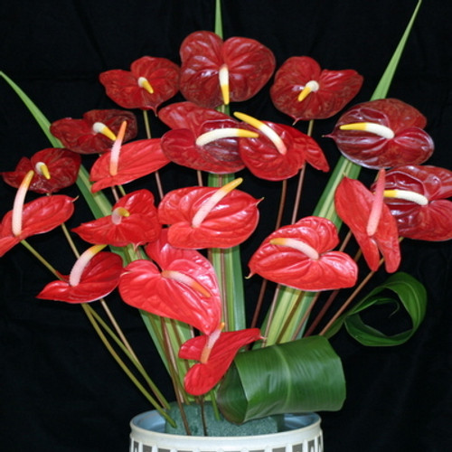 18 Mini Anthuriums