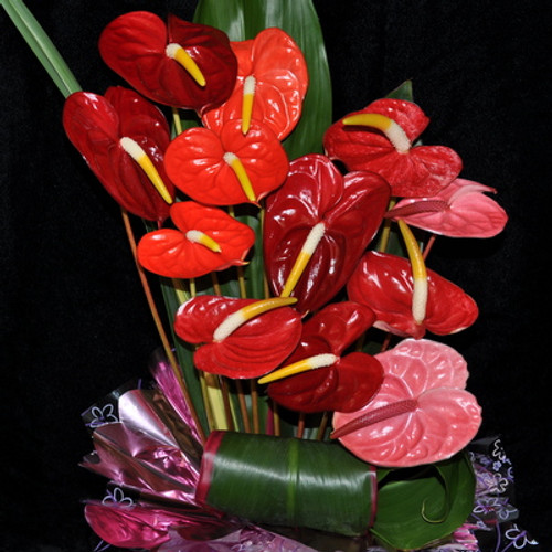 12 Mini Anthuriums