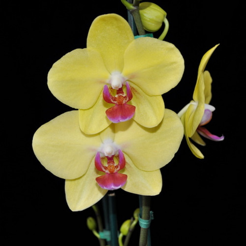 Phal.-Yellow (Hsinying Fortune)