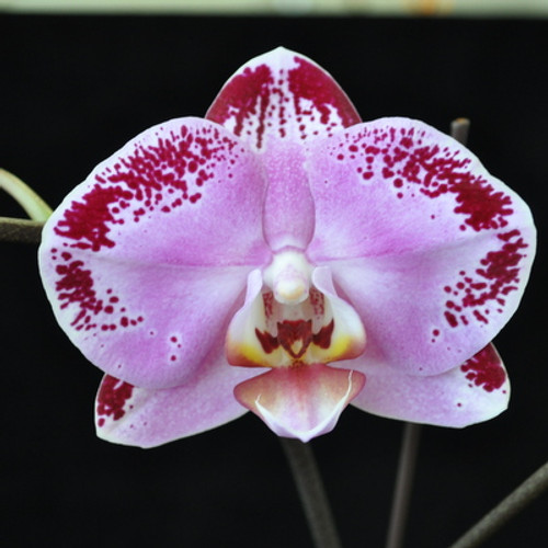 Phal. Lianher Happy Dancer