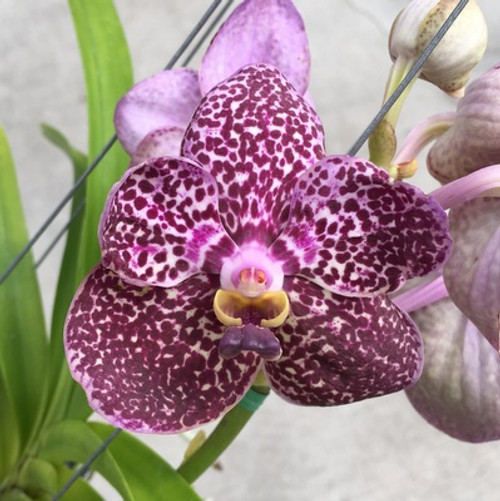 Ascda Kulwadee Fragrance No27 (Open Blooms)