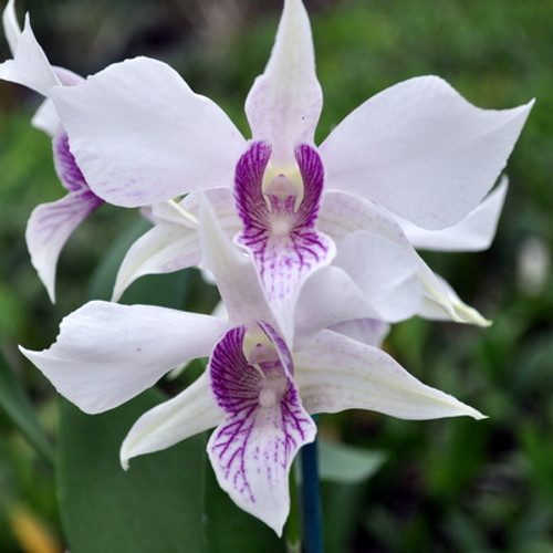 Den. Silver King (Den. Peter Shen x Silver Wings)