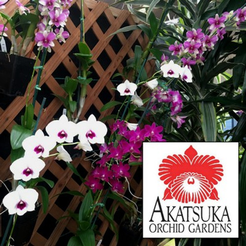 "Any 4"" Pot Dendro-Phal Orchid - GROWER'S CHOICE"
