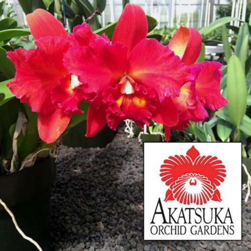 Any Cattleya Orchid (Clone)-GROWER'S CHOICE