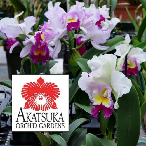 Any Cattleya Orchid (Seedling)-GROWER'S CHOICE