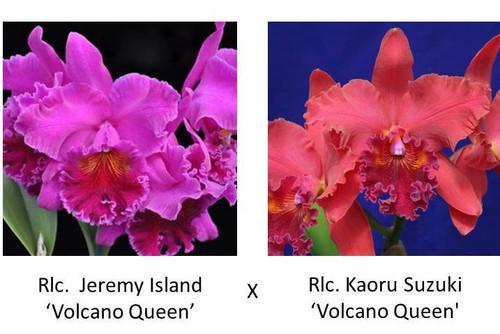 Rlc. Jeremy Island 'Volcano Queen' x Rlc. Kaoru Suzuki 'Volcano Queen'