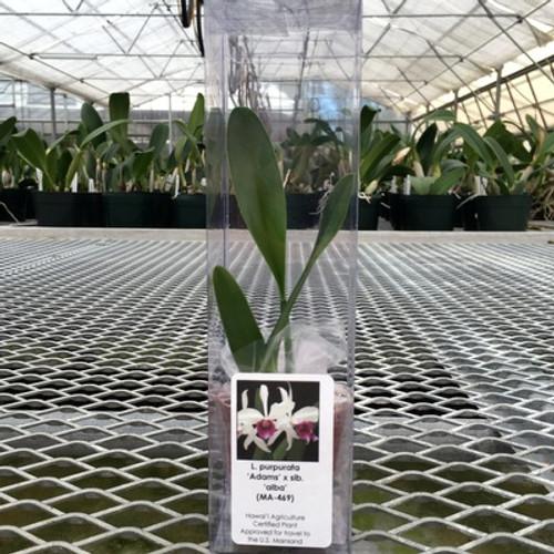L. purpurata 'Adams' x sib. 'alba' (Gift Box)