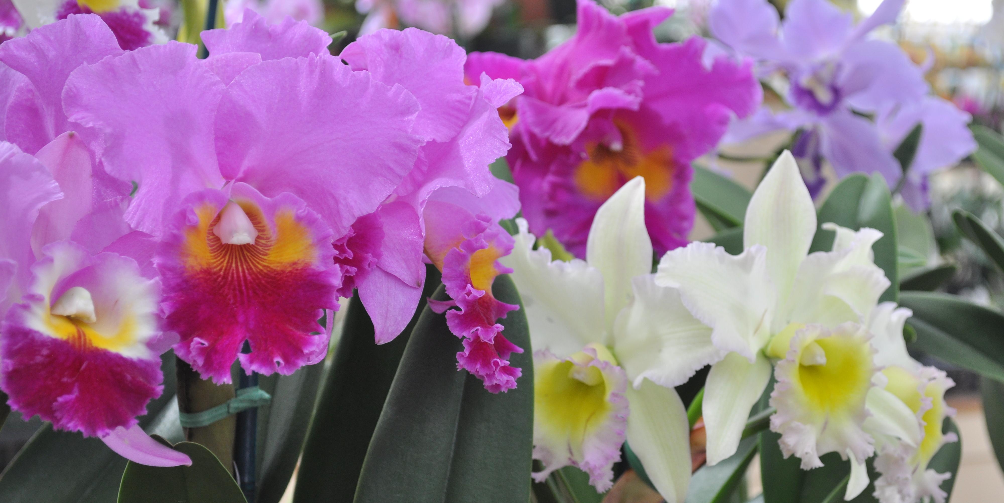 akatsuka orchid gardens, Beautiful flower