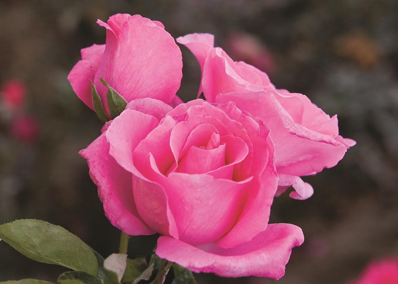 The McCartney Rose