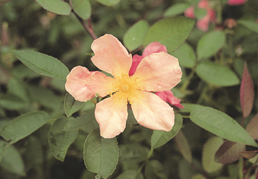 Butterfly Rose or Mutabilis
