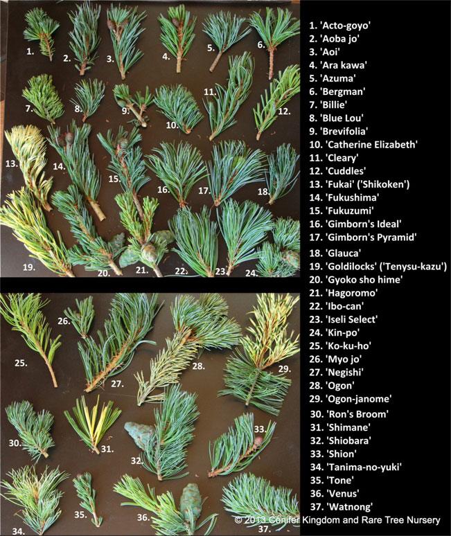 Pinusparviflora