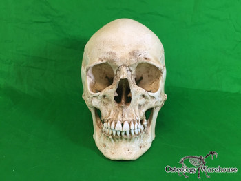 Osteology Warehouse - authentic human skull replica Product URL: www.osteologywarehouse.com/models-and-replicas/human-skull-replica