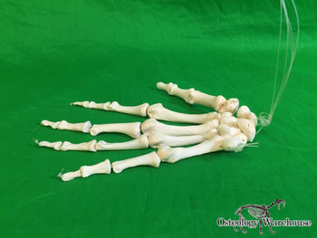 Product URL: www.osteologywarehouse.com/real-skeletons/articulated-hand Osteology Warehouse | Articulated hand, right