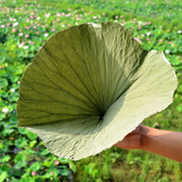 Dried Complete Lotus Leaf Folium Nelumbinis Weight Loss Tea Natural Food Wrapper 5 Leaves