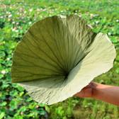 Dried Complete Lotus Leaf Folium Nelumbinis Weight Loss Tea Natural Food Wrapper 10 Leaves