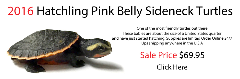 Home page banner baby pink belly sideneck turtles for sale