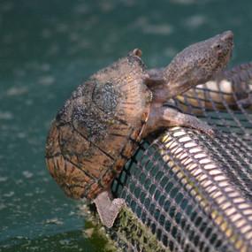 Adult Razorback Musk Turtles Sold Here.