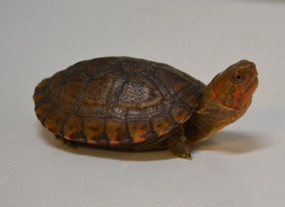 We sell baby red cheeked mud turtles.