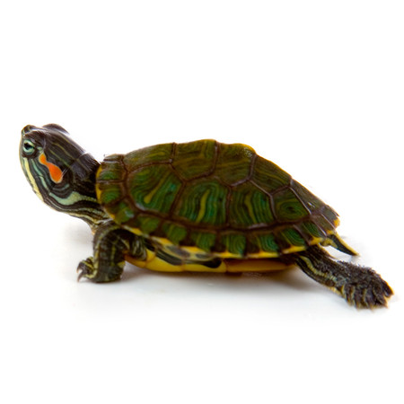 Home Turtles & Turtle Supplies Baby Turtles for sale Baby Red Ear ...