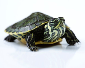 New born Yellow Bellied Slider Turtle