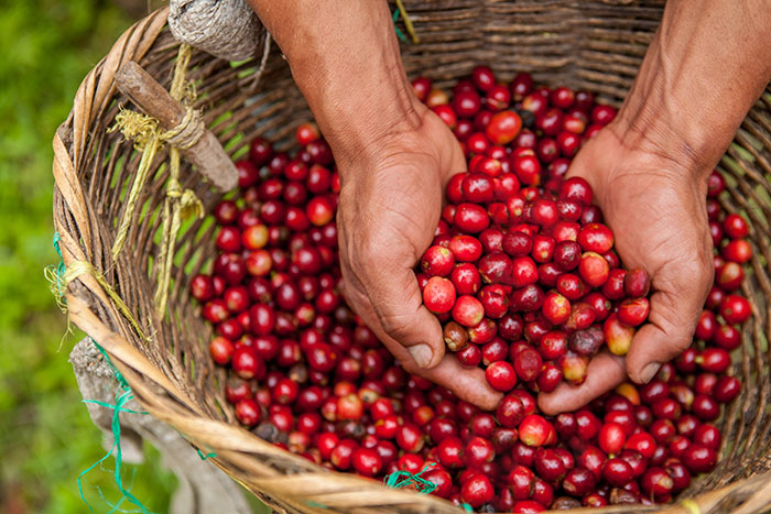 El Recreo Nicaraguan coffee cherries