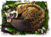 Pictograph of the Philippine Civet Subspecies