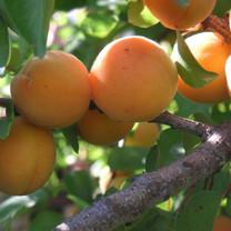 Sundrop Apricot
