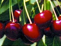 Lapins Cherry (dwarf)