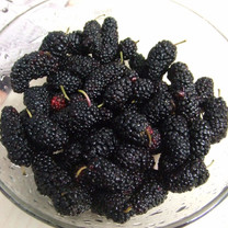Black Mulberry (seedling grown)