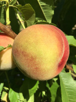 Bendigo Beauty Peach