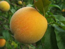 Golden Queen Peach (dwarf)