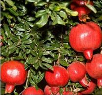 Seedling Pomegranate