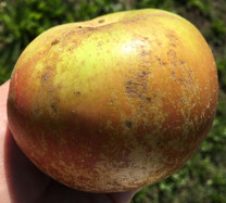 Campbelltown Russet Apple (dwarf)