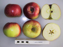 Cox's Pomona Apple (dwarf)
