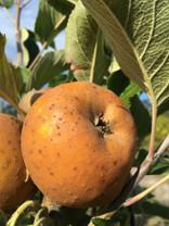 Egremont Russet Apple (dwarf)
