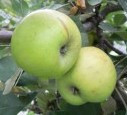 Cimetiere de Blangy Apple (medium)