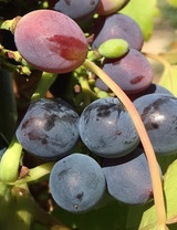 Carolina Blackrose Grape
