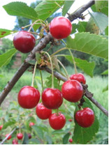 Bing Cherry