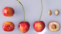 Napoleon Cherry
