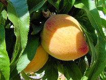 Dwarf  Yellow Peach