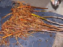 M9 rootstock plant