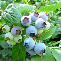Blue Crop Blueberry