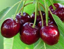 Burgsdorf Cherry